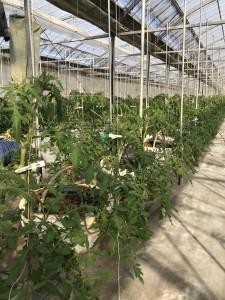 トマト育成H29.12.2